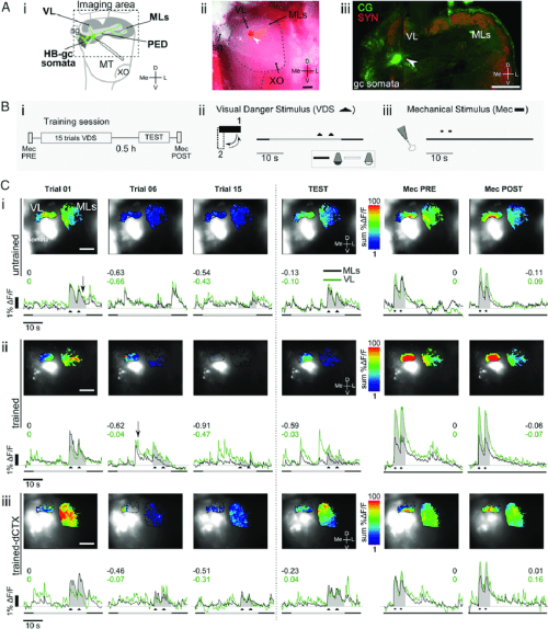 small resolution of in vivo calcium imaging preparation and neural activity in the crab s hb a
