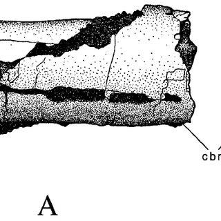 Speculative reconstruction of a mid-cervical vertebra of