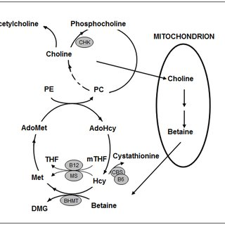 Choline and Betaine Metabolism. Abbreviations: PC