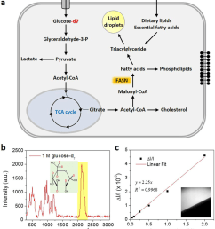isotope labeled glucose d7 is a tracer for de novo lipogenesis a download scientific diagram [ 850 x 955 Pixel ]