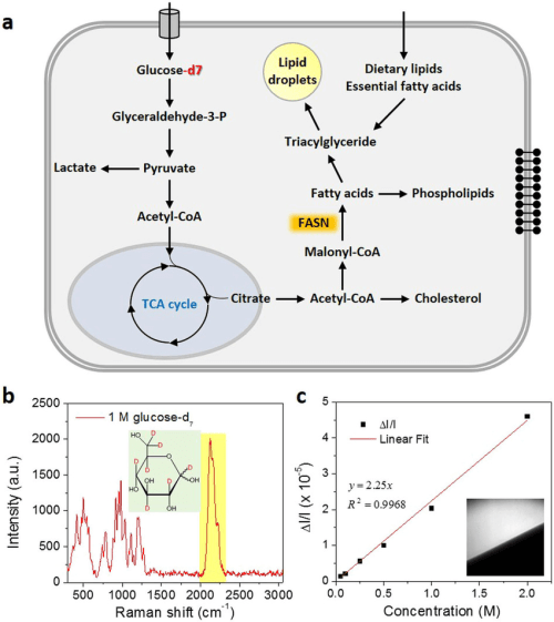 small resolution of isotope labeled glucose d7 is a tracer for de novo lipogenesis a download scientific diagram