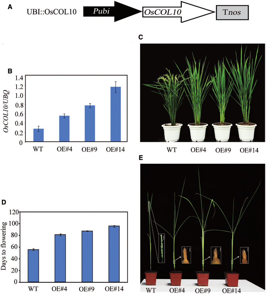 hight resolution of phenotypic characterization of oscol10 overexpressing plants a schematic diagram of the pubi