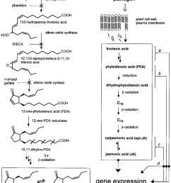 the vick zimmerman pathway of ja biosynthesis from linolenic acid download scientific diagram [ 850 x 1068 Pixel ]