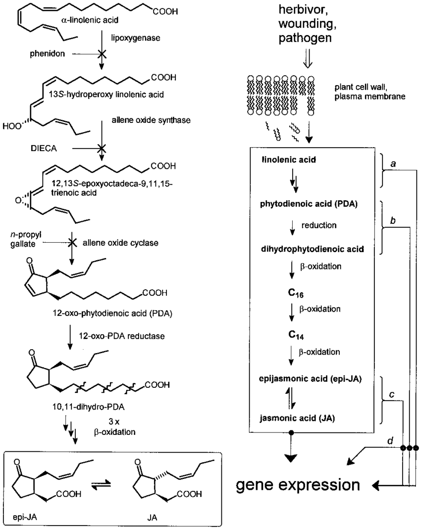 medium resolution of the vick zimmerman pathway of ja biosynthesis from linolenic acid download scientific diagram