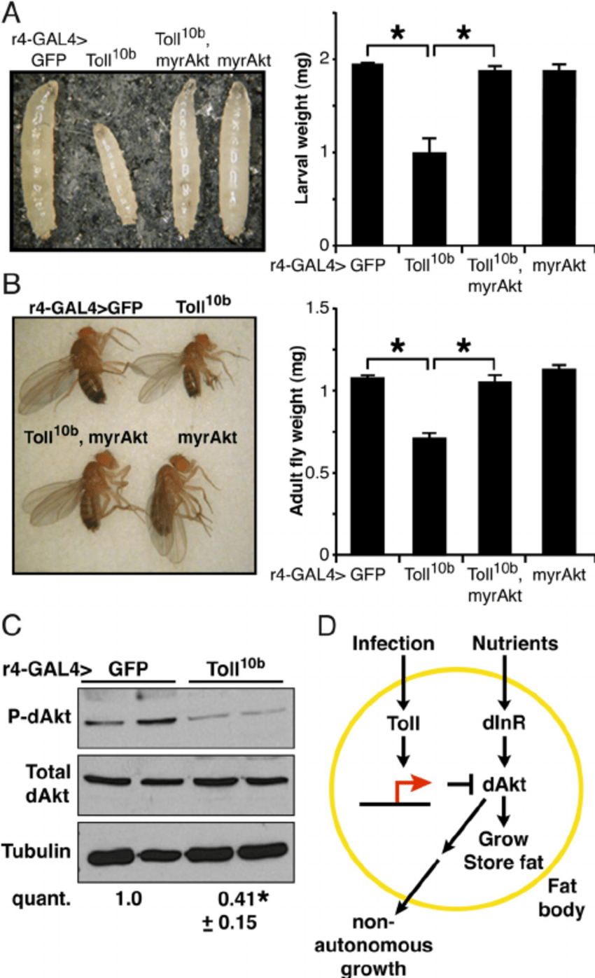 hight resolution of toll signaling in the fat body nonautonomously inhibits organismal growth a and b