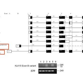 (PDF) A Kallikrein 15 (KLK15) single nucleotide