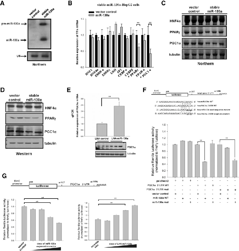Identification of host factors targeted by miR-130a. (A