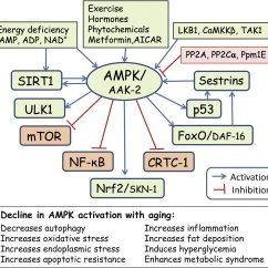 Diagram Of Cellular Energy 2003 Yamaha Grizzly 660 Wiring Schematic Overview The Signaling Pathways Targeted By Ampk... | Download Scientific