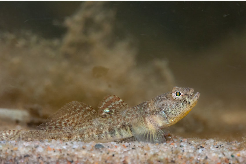 A male common goby (Pomatoschistus microps).