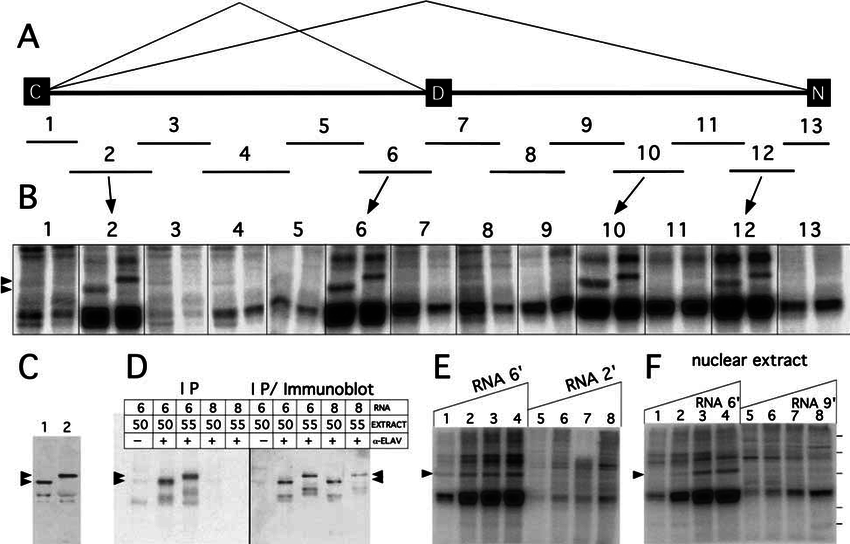 UV cross-linking of ELAV from Drosophila nuclear extracts