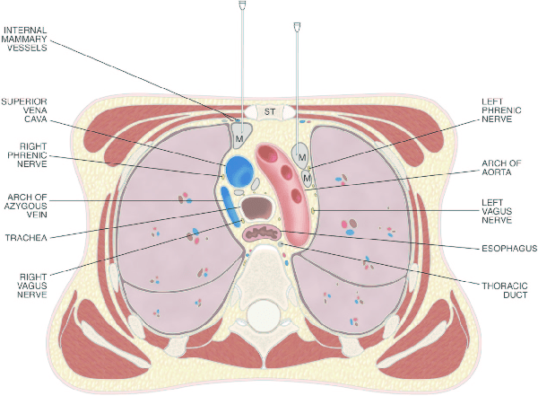 vagus nerve diagram retina rod and cone drawing of a transverse section through the thorax at level the... | download scientific ...