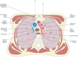 Drawing of a transverse section through the thorax at the