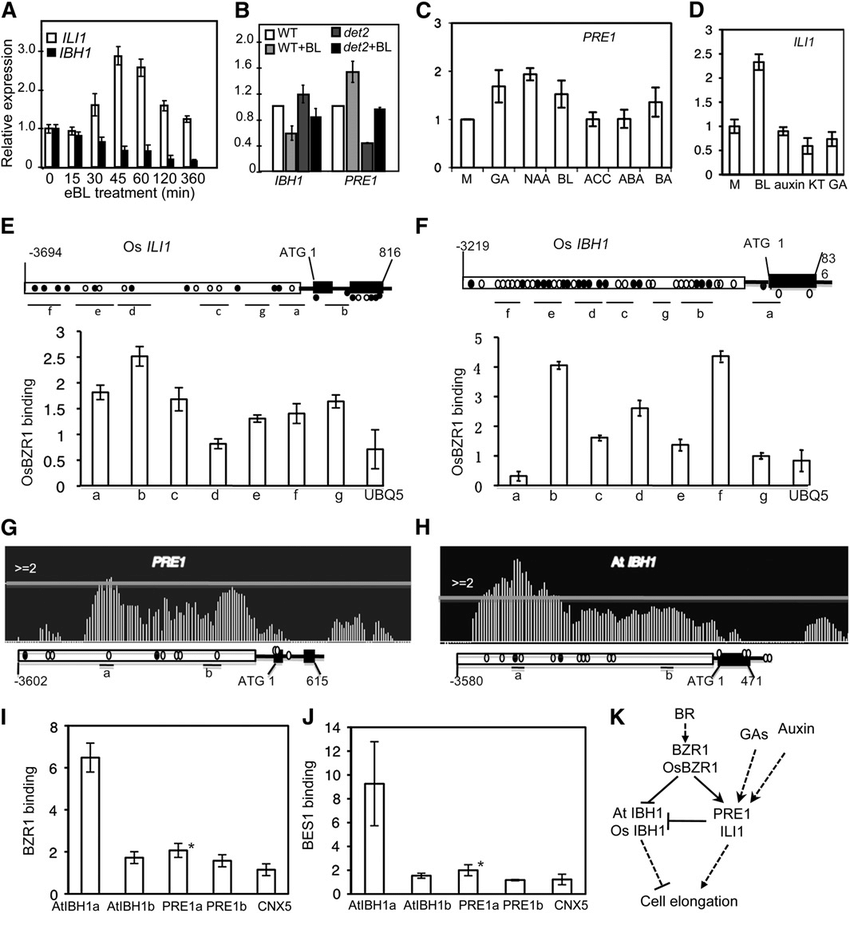 BR Increases the Transcript Levels of ILI1 and PRE1. but Represses Os...   Download Scientific Diagram