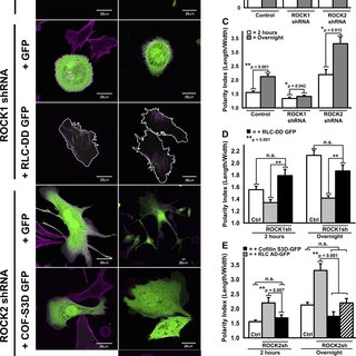 small resolution of rock1 and rock2 differentially regulate front back polarity through isoform specific mechanisms
