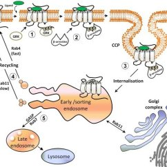 What Is An Affinity Diagram 2008 Dodge Ram 1500 Fuse Box Steps Involved In The Homologous Desensitization Of Gpcrs. According To... | Download Scientific ...