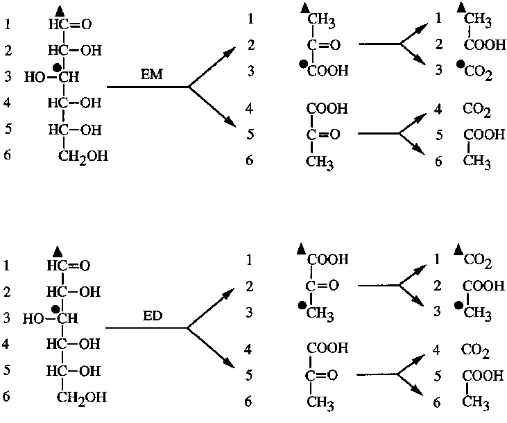 Expected labeling pattern of products after fermentation