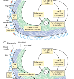 paracrine and autocrine regulation of follicular maturation in small antral follicles at the beginning of the [ 850 x 1217 Pixel ]