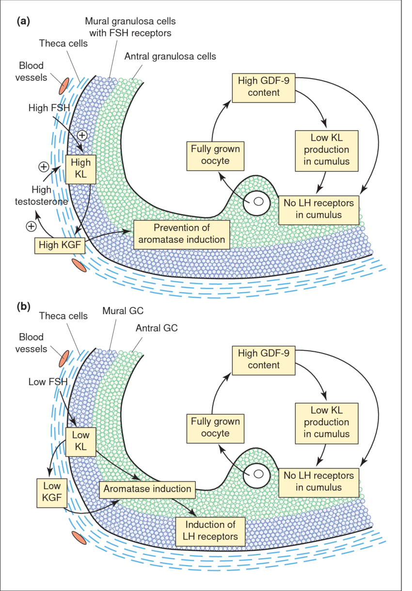 hight resolution of paracrine and autocrine regulation of follicular maturation in small antral follicles at the beginning of the