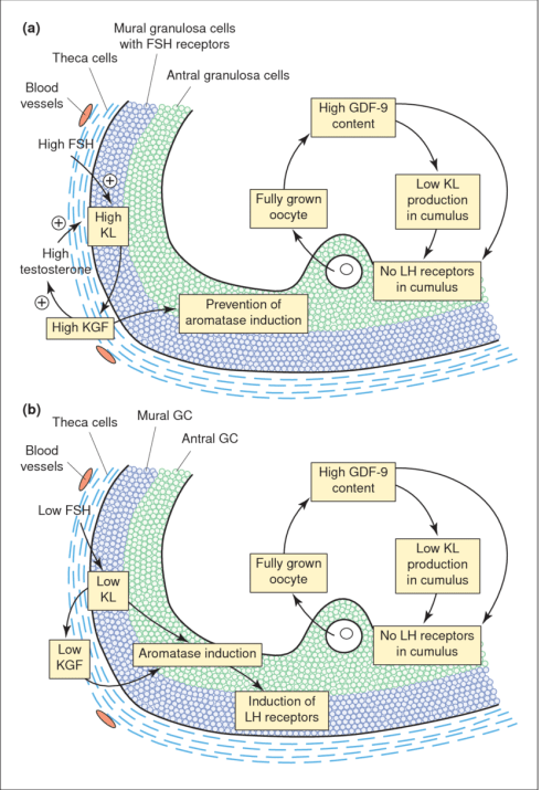 small resolution of paracrine and autocrine regulation of follicular maturation in small antral follicles at the beginning of the