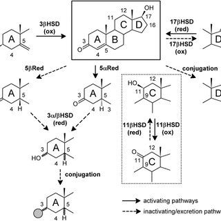 Schematic overview of sex steroid biosynthesis in the