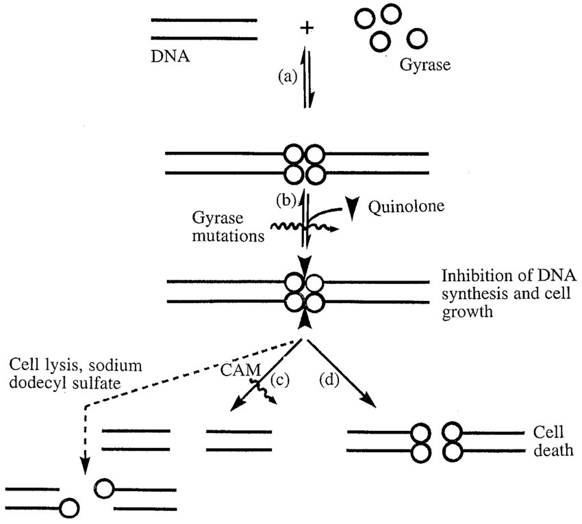 Intracellular action of quinolones. (a) DNA gyrase and DNA