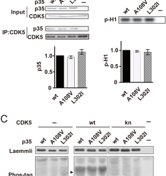 activation of cdk5 by p35 or its mutants a the binding of p35 [ 850 x 1071 Pixel ]