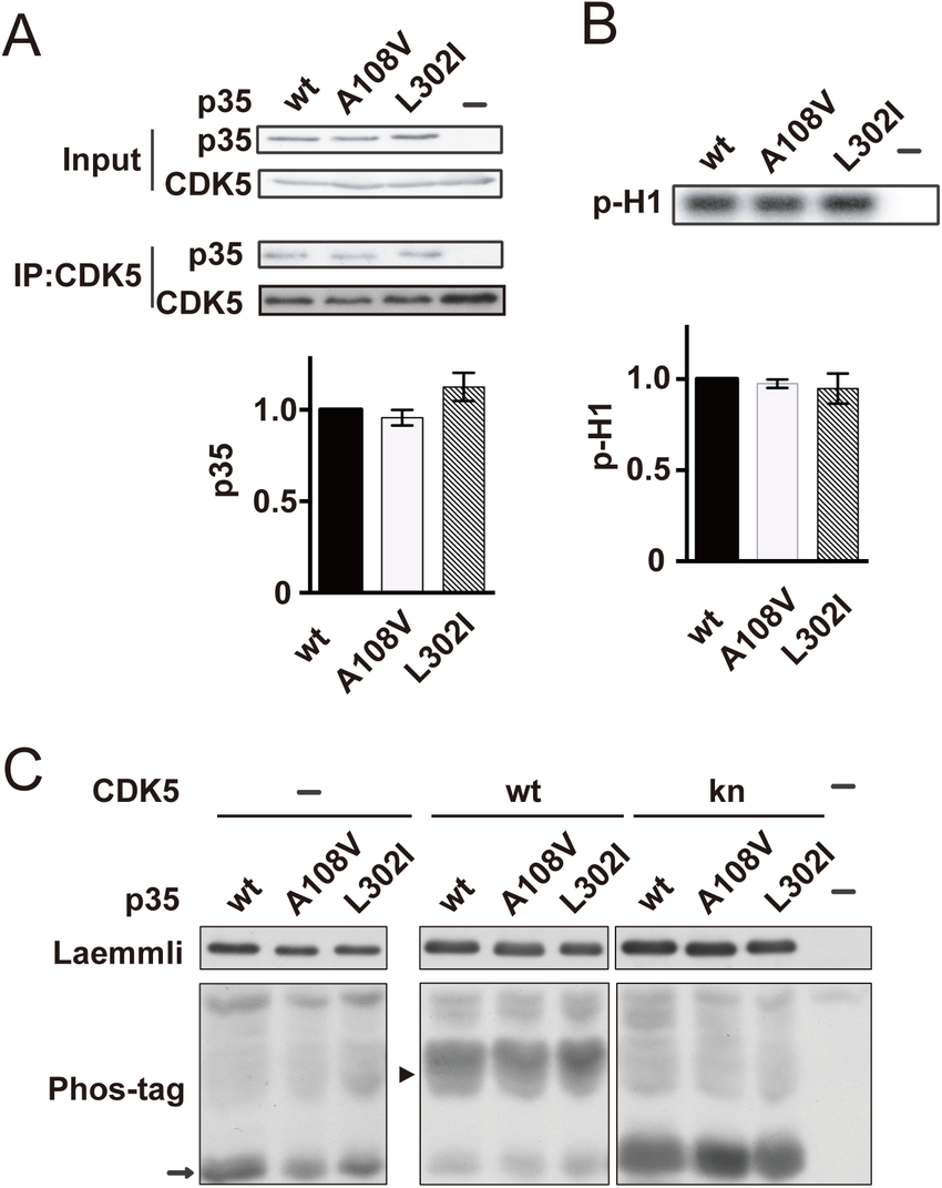 hight resolution of activation of cdk5 by p35 or its mutants a the binding of p35