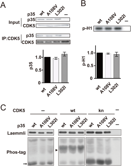 small resolution of activation of cdk5 by p35 or its mutants a the binding of p35