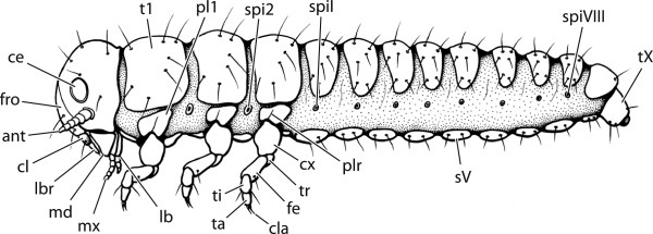 Illustration of reconstructed groundplan larva of