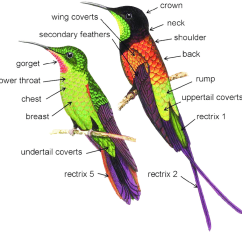 Hummingbird Diagram Of Color Mini Usb To Micro Wiring Body Areas Where Determination Was Conducted Drawings Modified From David Alker S Original Artwork