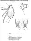 Ciclo biológico de Babesia bovis (Mosqueda et. al, 2012).