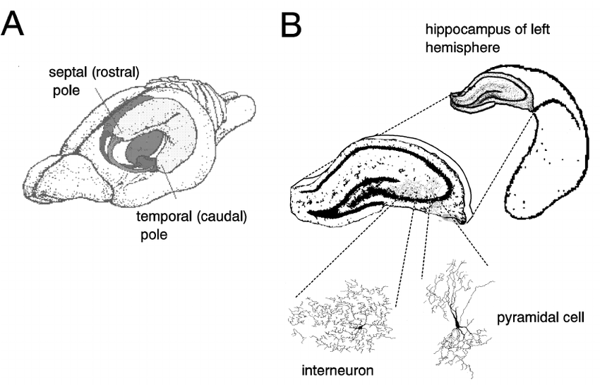 Location of hippocampus in the rat brain and illustration