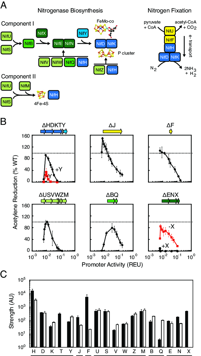 hight resolution of the robustness of the nitrogen fixation pathway to changes in the expression of component proteins