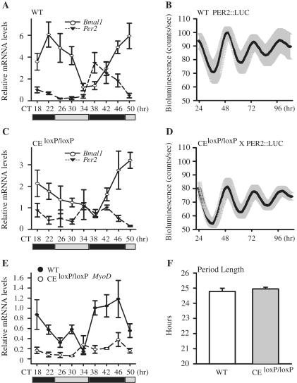 Circadian oscillation of MyoD mRNA is dampened in skeletal