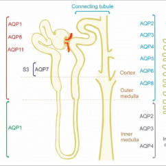 Nephron Diagram From A Textbook Wiring 2 Subs Of W Key Online Data Oreo Where Absorption Occurs