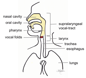 A diagram of the human vocal production apparatus