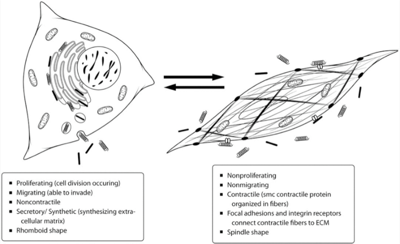 3: Smooth Muscle Cell Phenotypic Plasticity. Reprinted by