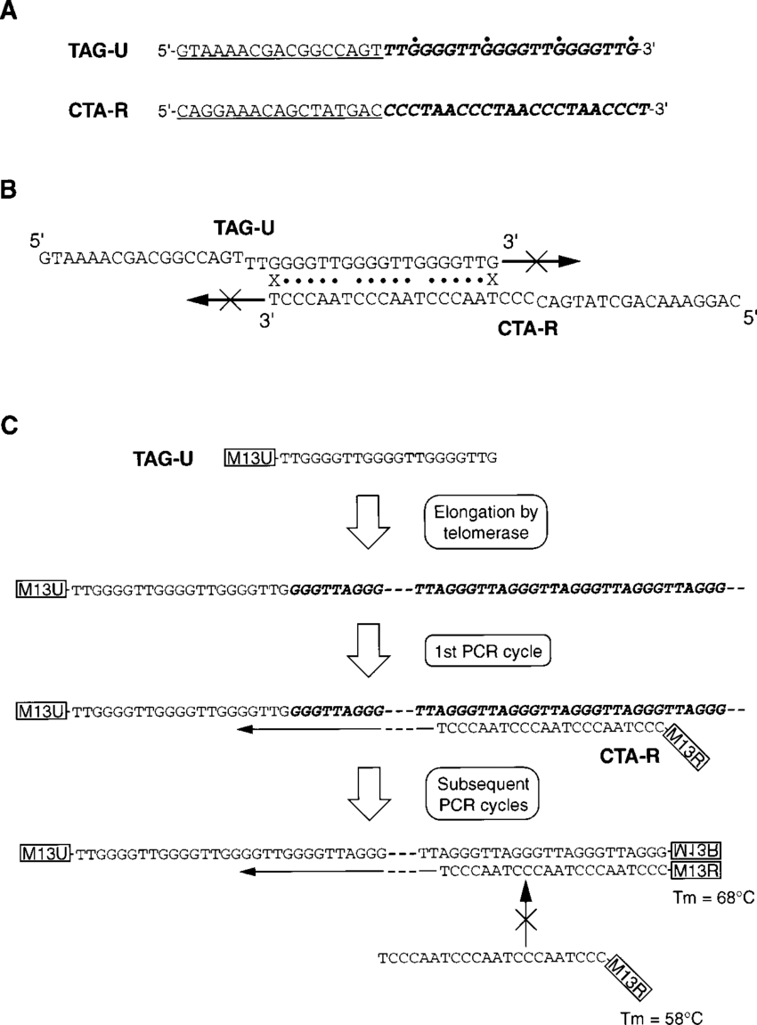 medium resolution of schematic diagram of stretch pcr for the detection of telomerase activity a primer