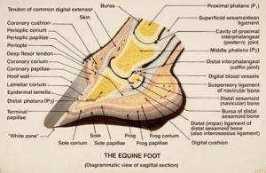 Diagram of a sagittal section of the horse's foot The lamellar hoof of | Download Scientific