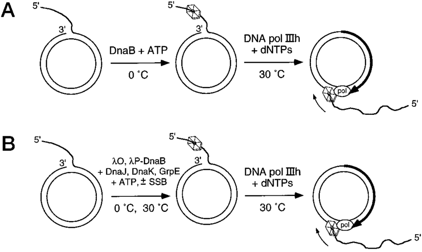 Schematic diagrams of the rolling circle DNA replication