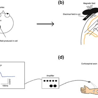(PDF) What Do TMS-Evoked Motor Potentials Tell Us About