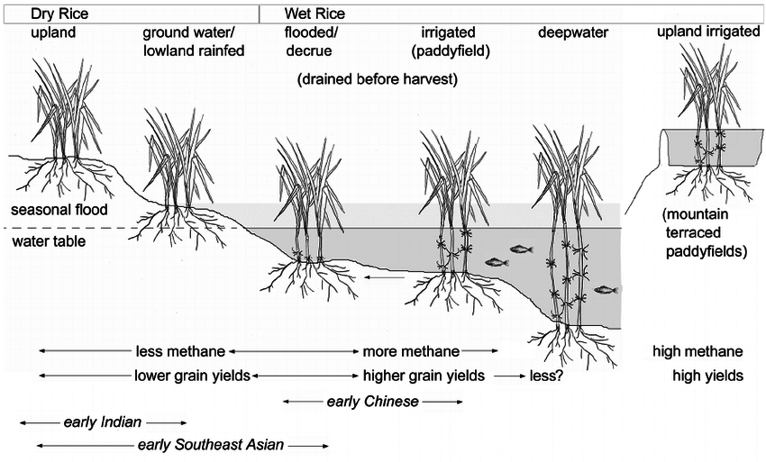 Schematic diagram contrasting the major variations in rice