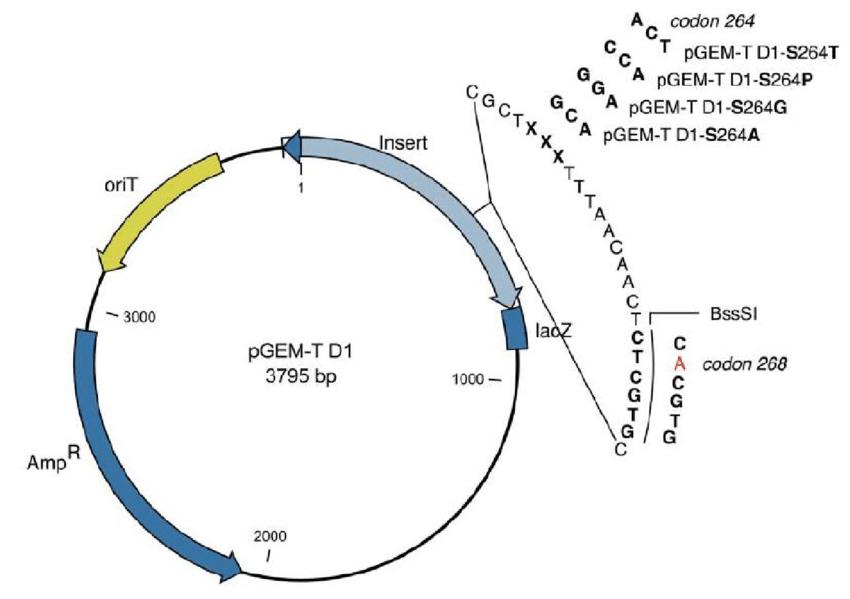 Figure A.1.: Construction of the pGEM-T D1 transformation