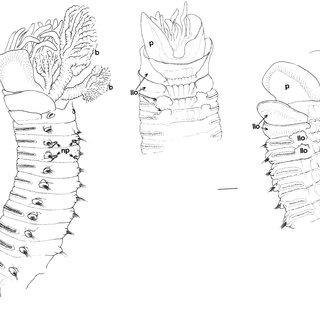 Anterior part of Pista shizugawaensis n. sp. (SAM E3457