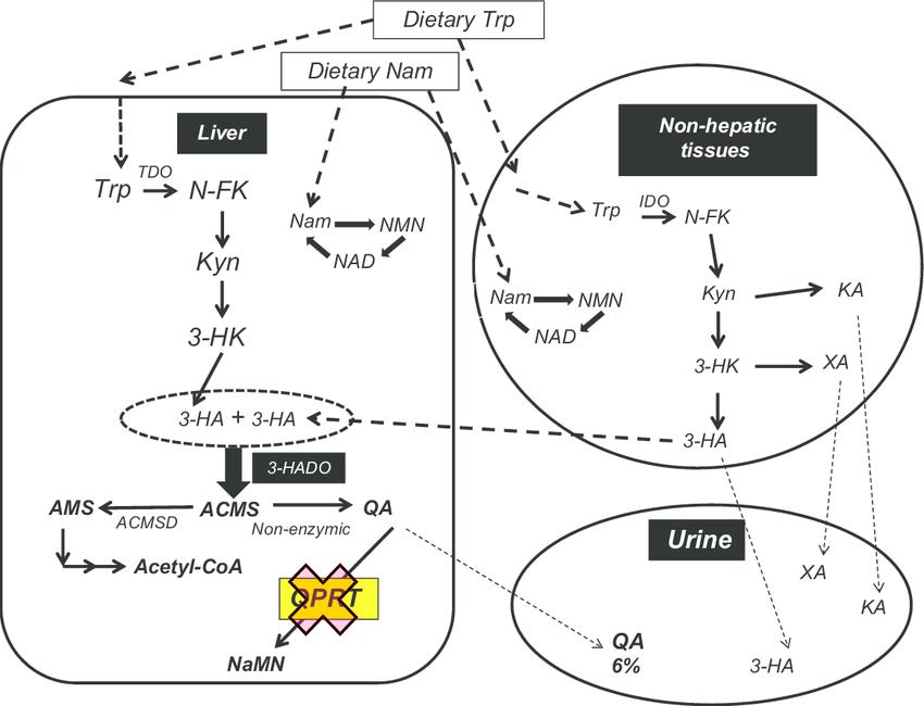 niacin ( = dietary nam) is an essential nutrient for Qprt