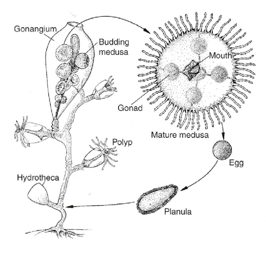 1.3. Life cycle of a Leptomedusae Obelia geniculata