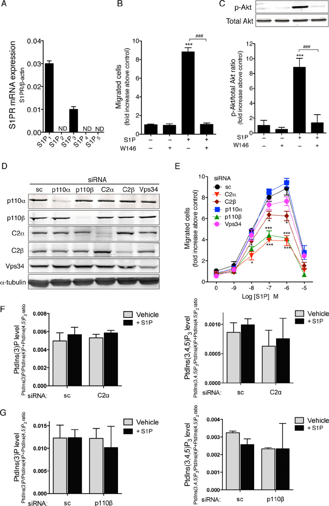 S1P stimulates cell migration and Akt activation through