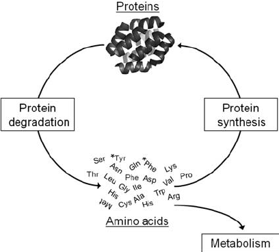Protein turnover in the heart. The balance of protein