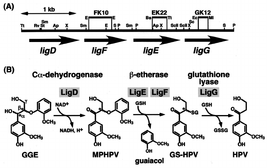 Organization of the ligDFEG gene cluster (A) and deduced