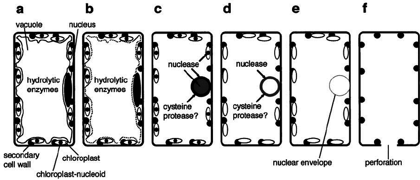 Model for the description of autolytic process during TE